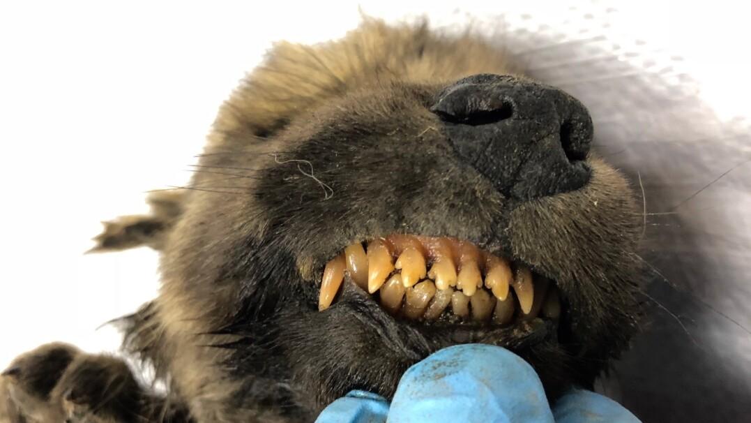 Na Syberii znaleziono szczeniaka sprzed 18 tysięcy lat