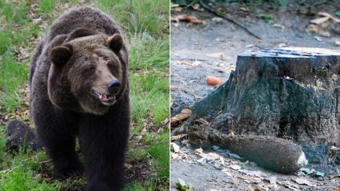 Ewka, niedźwiedzica-saper z poznańskiego zoo