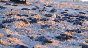 Żółwie oliwkowe w Meksyku