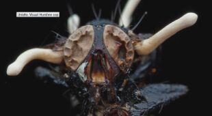 Ten grzyb zamienia owady w zombie